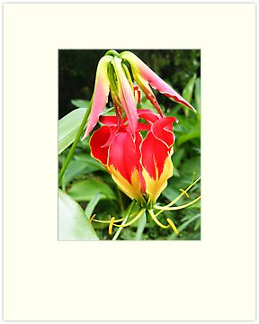 Flame Lily by Jocelyn Hyers