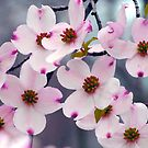 Wild Pink DogWood Flowers by NatureGreeting Cards ccwri