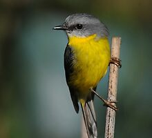 Eastern Yellow Robin by MaureenGoninan