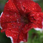 Rain soaked petunia's by Richard Keech