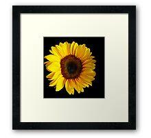 Sunflower....Helianthus annuus Framed Print