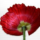 Poppy day by Anne Seltmann