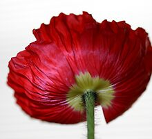 mohn by Anne Seltmann