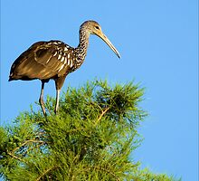 The Limpkin by Donnie Shackleford