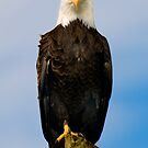 Bald Eagle by Jim Haley