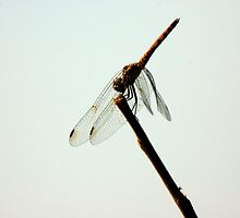 Dragonfly by DUNCAN DAVIE
