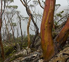 Labyrinth Snowgums by tasadam
