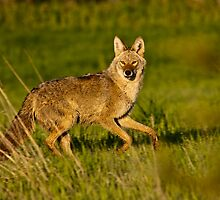 Coyote by Jay Ryser