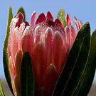 Protea by Neophytos