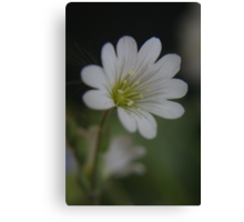 White (from willd flowers collection) Canvas Print