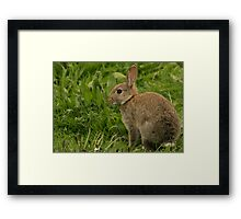 Wild Baby Rabbit Framed Print