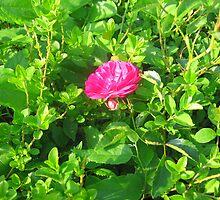 Green Around the Rosie by dreamNwish