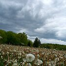 Fields of Dandelions / Dramatic  Sky  by Rick  Todaro