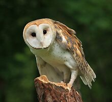 Barn Owl by noffi