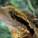Eastern Water Dragon, Physignathus lesueurii by Travis Easton