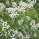 Spring chokecherry by loiteke