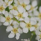 blossoms by loiteke