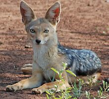 Black-Backed Jackal, Serengeti National Park, Tanzania by Adrian Paul