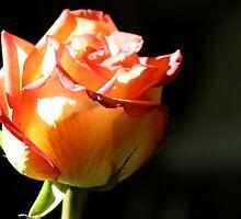 The Rose by Elizabeth Bravo
