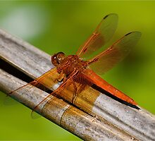 Lacewing Dragonfly by Cheryl  Lunde