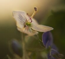 White and violet (from wild flowers collection)  by Antanas