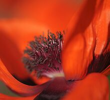 Poppy Pose by Jacky Parker