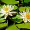 Waterlily by Cheryl  Lunde