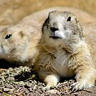 Black-Tailed Prairie Dog by Teresa Zieba