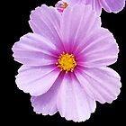 Celestial Purple by Christopher Pottruff