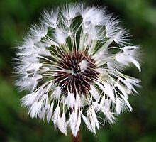 Dandelion (In a Peebles Garden!) by photobymdavey