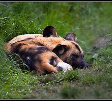 Let sleeping dogs lie by Shaun Whiteman