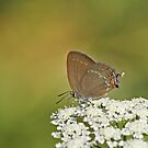 Purple Hairstreak Butterfly by Robert Abraham