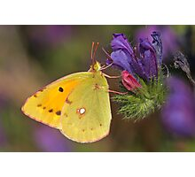 Clouded Yellow Close Up Photographic Print