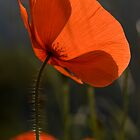 Poppies 2 by David Clarke