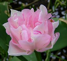 Pale Pink Tulip  by LoneAngel