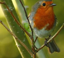 The Robin  by Mathew Woodman