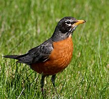Colorful American Robin by Larry Trupp