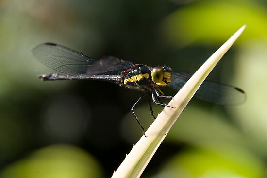Dragonfly by Donna Rondeau