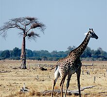 Giraffe by DUNCAN DAVIE