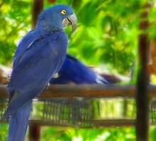Blue Parrot by Sunflwrconcepts
