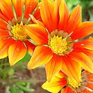 Gazania Rigens by taiche