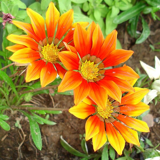 Three Bright Colored Gazania Flowers and Garden by taiche