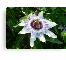 Beautiful Passion Flower With Garden Background Canvas Print