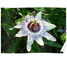 Beautiful Passion Flower With Garden Background Poster