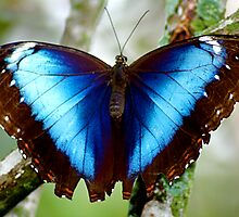 Blue Morpho by Ruby  Pen