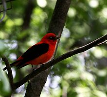 Scarlet Tanager by John Absher