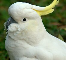 Sulphur Crested Cockatoo III by Tom Newman