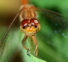 Dragonfly Eyes by Renee Dawson