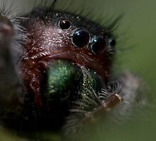 intimate portrait (salticidae sp.) by jude walton
