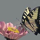 Tiger Swallowtail Butterfly by WTBird